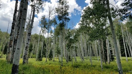 Aspen Trees on trail